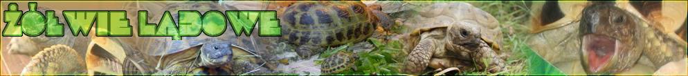 Forum o żółwiach lądowych - żółw stepowy i grecki, hodowla, terrarium, nasze żółwie